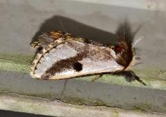 Black Spot Moth