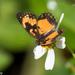 Mariposa de Parche Bordeado Sudemaricano - Photo (c) Greg Lasley, algunos derechos reservados (CC BY-NC)