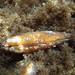 Lithophaga lithophaga - Photo (c) Emanuele Santarelli, algunos derechos reservados (CC BY-SA)