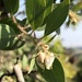 Arctostaphylos pilosula - Photo (c) paulexcoff, algunos derechos reservados (CC BY-SA)