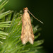 Burdock Seedhead Moth - Photo (c) Robby Deans, some rights reserved (CC BY-NC)