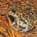 Marbled Sand Frog - Photo (c) Subhajit Roy, some rights reserved (CC BY-NC-ND)