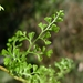 Lacy Wedge Fern - Photo (c) John Tann, some rights reserved (CC BY)