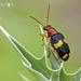Chrysomeloidea - Photo (c) Eduardo Axel Recillas Bautista, algunos derechos reservados (CC BY-NC)