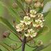 Asclepias tomentosa - Photo (c) Mary Keim,  זכויות יוצרים חלקיות (CC BY-NC-SA)