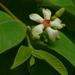 Wrightia arborea - Photo (c) Dinesh Valke, algunos derechos reservados (CC BY-NC-SA)