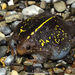 Mexican Burrowing Toad - Photo (c) Alejandro Calzada, some rights reserved (CC BY-NC)