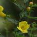 Aureolaria pedicularia - Photo (c) Mark Kluge, algunos derechos reservados (CC BY-NC-ND)
