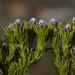 Leucadendron - Photo (c) Campbell Fleming, algunos derechos reservados (CC BY-NC)