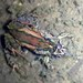Glauert's Froglet - Photo (c) Cheryl Macaulay, some rights reserved (CC BY-NC)