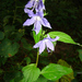 Tall Bellflower - Photo (c) Lee Elliott, some rights reserved (CC BY-NC-SA)