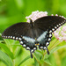 Spicebush Swallowtail - Photo (c) 116916927065934112165, some rights reserved (CC BY-SA), uploaded by Matt Muir