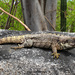 Oaxacan Spiny-tailed Iguana - Photo (c) Alejandro Calzada, some rights reserved (CC BY-NC)