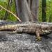 Ctenosaura oaxacana - Photo (c) Alejandro Calzada,  זכויות יוצרים חלקיות (CC BY-NC)