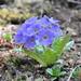 Primula sonchifolia - Photo (c) Lukasz Madrzynski (孟巨石), some rights reserved (CC BY-NC)