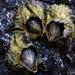 Semibalanus cariosus - Photo (c) Alison Young,  זכויות יוצרים חלקיות (CC BY-NC)