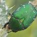 Protaetia ungarica - Photo (c) Felix Riegel, algunos derechos reservados (CC BY-NC)