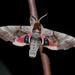 Smerinthus jamaicensis - Photo (c) Wayne Fidler, algunos derechos reservados (CC BY-NC)