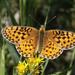 Mormon Fritillary - Photo (c) Donna Pomeroy, some rights reserved (CC BY-NC)
