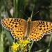 Speyeria mormonia - Photo (c) Donna Pomeroy, algunos derechos reservados (CC BY-NC)