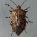 Asopinae - Photo (c) David Gardner, alguns direitos reservados (CC BY-NC)