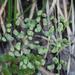 Adiantum chilense sulphureum - Photo (c) orlandomontes,  זכויות יוצרים חלקיות (CC BY-NC)