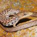 Wiegmann's Alligator Lizard - Photo (c) Alejandro Calzada, some rights reserved (CC BY-NC)