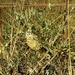 Astragalus oleifolius - Photo (c) עומר וינר, algunos derechos reservados (CC BY-NC)