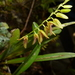 Pleurothallis segoviensis - Photo (c) Hermes Vega, algunos derechos reservados (CC BY-NC)