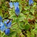 Broad-petal Gentian - Photo (c) M. Goff, some rights reserved (CC BY-NC-SA)