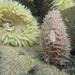 Aeolidia papillosa - Photo (c) lhillmann, osa oikeuksista pidätetään (CC BY-NC)