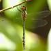 Hemicordulia continentalis - Photo (c) quoll2, algunos derechos reservados (CC BY-NC)