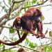 Mono Aullador Rojo - Photo (c) pfaucher, algunos derechos reservados (CC BY-NC)