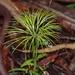 Schizaea - Photo (c) eyeweed, osa oikeuksista pidätetään (CC BY-NC-ND)