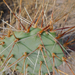 Opuntia tortispina - Photo (c) ellen hildebrandt, algunos derechos reservados (CC BY-NC)