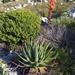 Aloe succotrina - Photo (c) Dennis Laidler, osa oikeuksista pidätetään (CC BY-NC)