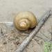 Pila globosa - Photo (c) Radheshyam Baghel, algunos derechos reservados (CC BY-NC)