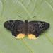 Mooreana trichoneura - Photo (c) Green Baron Pro, algunos derechos reservados (CC BY-NC-ND)