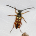 Banded Longhorn Beetle - Photo (c) Steven Whitebread, some rights reserved (CC BY)