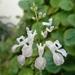 Plectranthus verticillatus - Photo (c) Juan Carlos Fonseca Mata,  זכויות יוצרים חלקיות (CC BY)