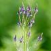 Verbena hastata - Photo (c) psweet, algunos derechos reservados (CC BY-SA)