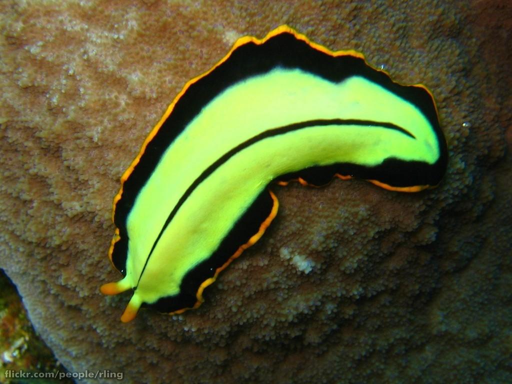 gomba platyhelminthes gusanos planos