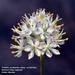 Triantha occidentalis - Photo (c) mtash, algunos derechos reservados (CC BY-NC)