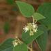 Croton fruticulosus - Photo (c) Susan Elliott,  זכויות יוצרים חלקיות (CC BY-NC)