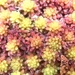Sphagnum capillifolium - Photo (c) andrewmelton, algunos derechos reservados (CC BY-NC)