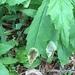 Nemorimyza maculosa - Photo (c) Sequoia Wrens, μερικά δικαιώματα διατηρούνται (CC BY-NC)