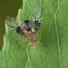 Spectacled Berry Fly - Photo (c) Gilles San Martin, some rights reserved (CC BY-SA)