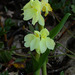 Roscoea cautleyoides - Photo (c) Steve Garvie, some rights reserved (CC BY-NC-SA)