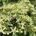Clerodendrum cyrtophyllum - Photo (c) biobank-lantauhk,  זכויות יוצרים חלקיות (CC BY-NC)