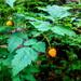 Rubus spectabilis - Photo (c) Ryan McMinds, algunos derechos reservados (CC BY)